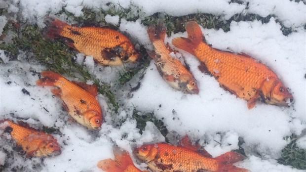 Des poissons rouges dans le lac t miscouata for Gros poisson rouge