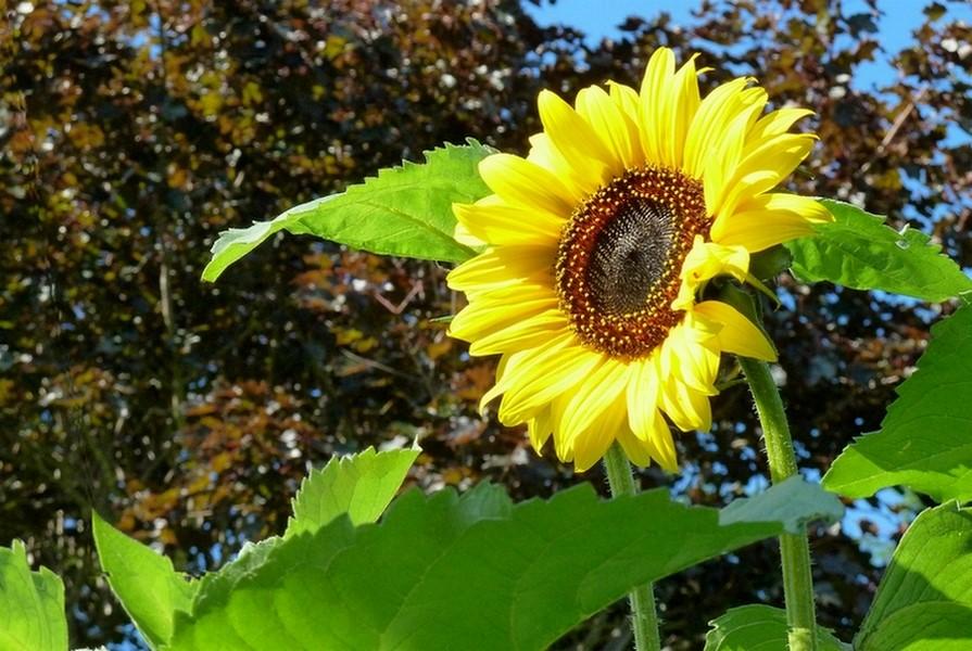 Fleurs arbres et monde v g tal paysages - Fleur du soleil ...
